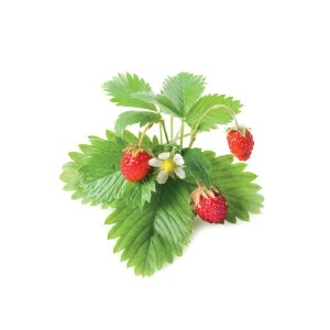 Wild Strawberry - Poziomka